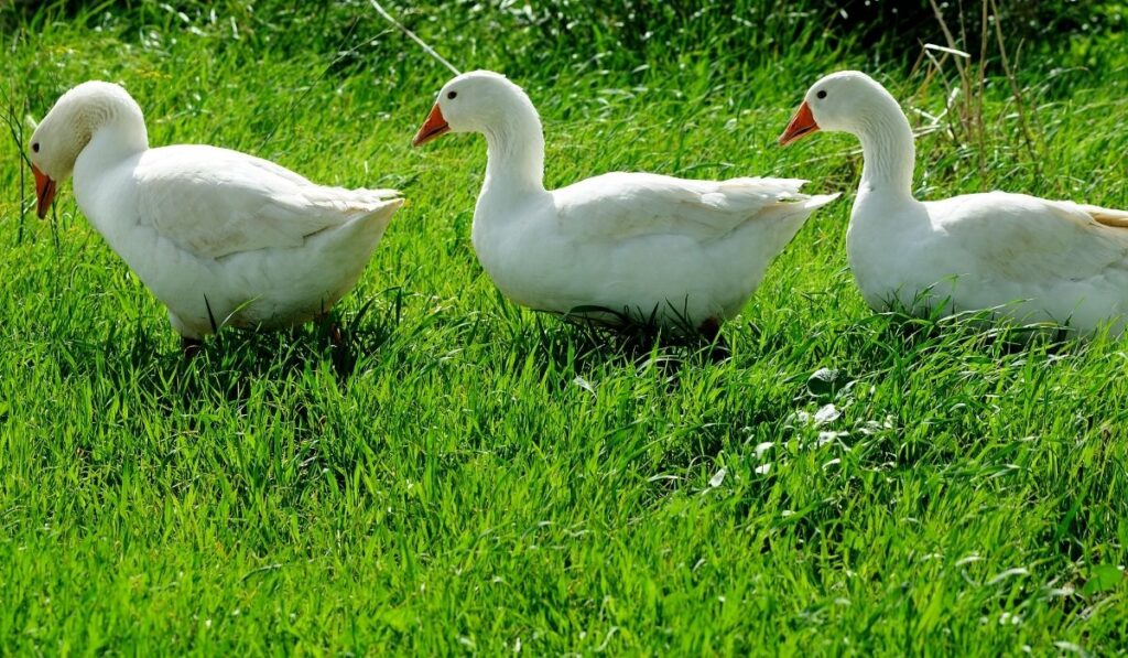 Three geese in the grass