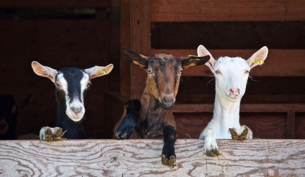 Three goat looking over the wooden fence