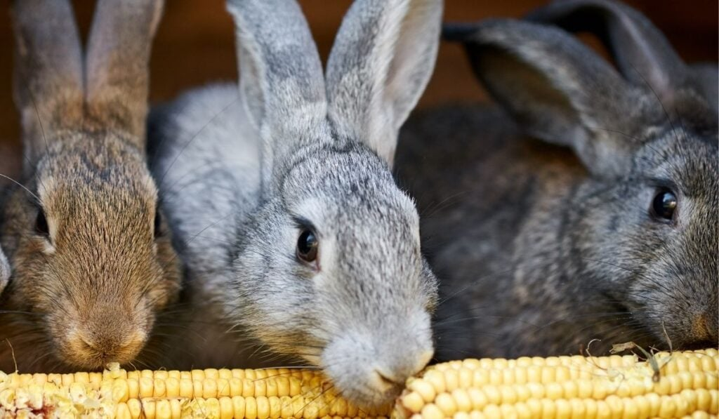 Three rabbits eating corn
