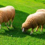 Do Sheep Eat Grass?