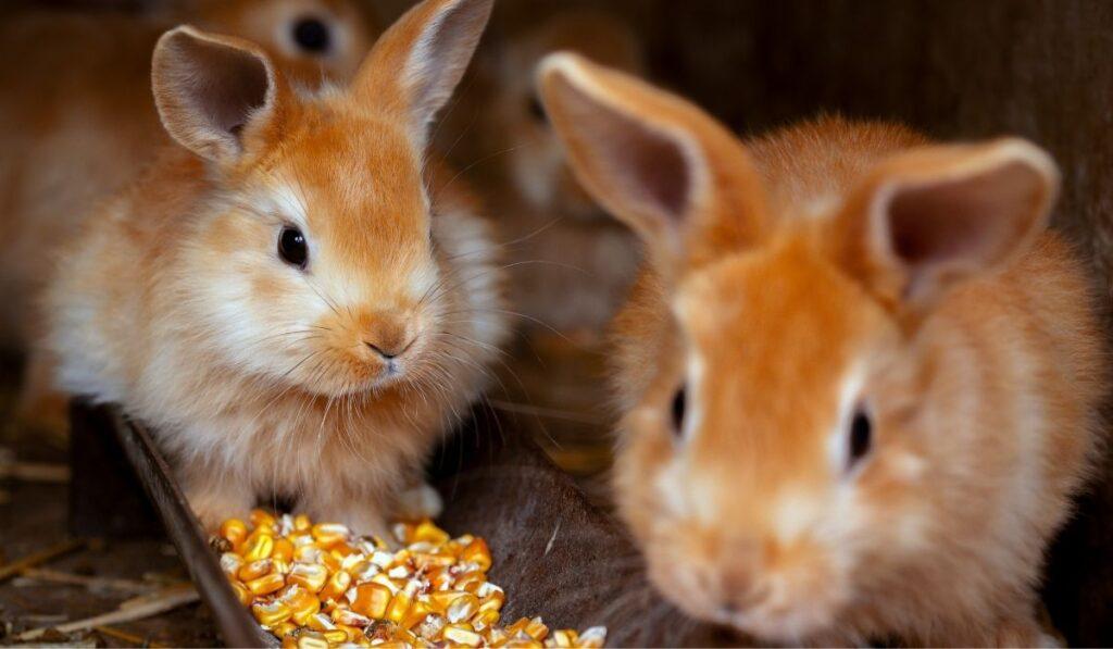 Two brown rabbits eating corn
