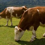 Are Your Cows Getting Enough to Eat? Here's How You Know