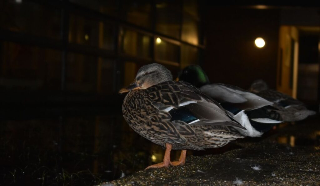 Two ducks at night