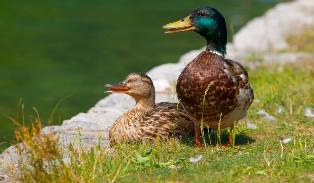 Two ducks standing beside river