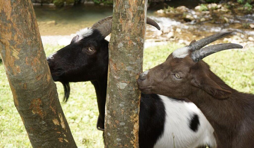 Two goats eating tree bark