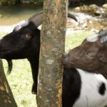 Goats Eating Wood - is it a Problem?