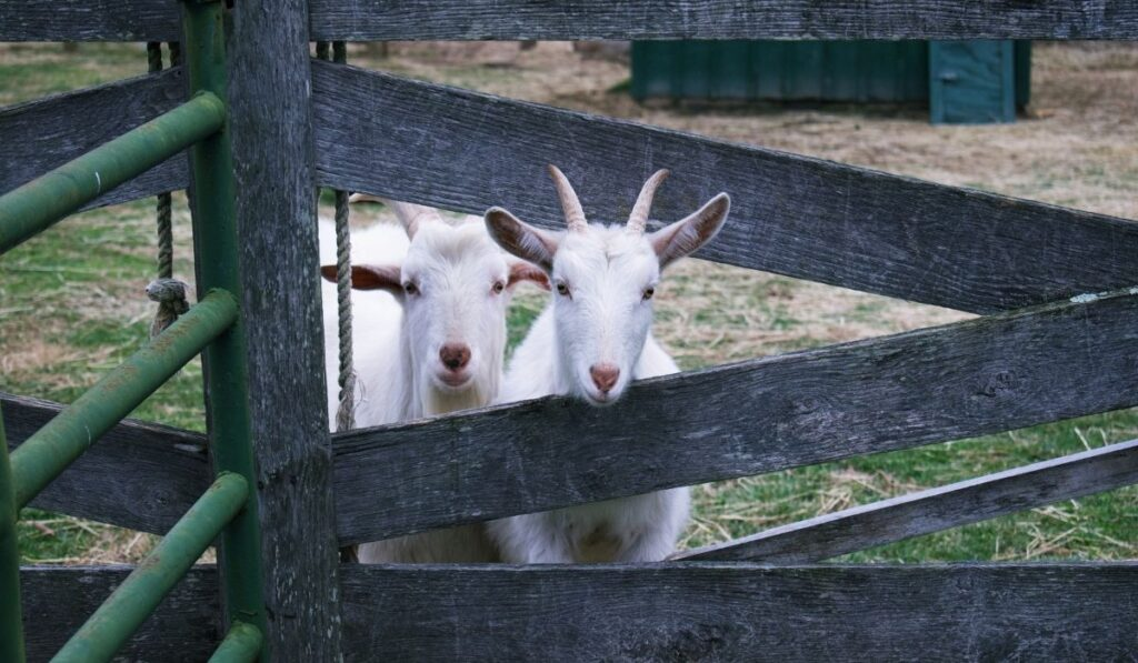 Two white goat looking over wooden fence