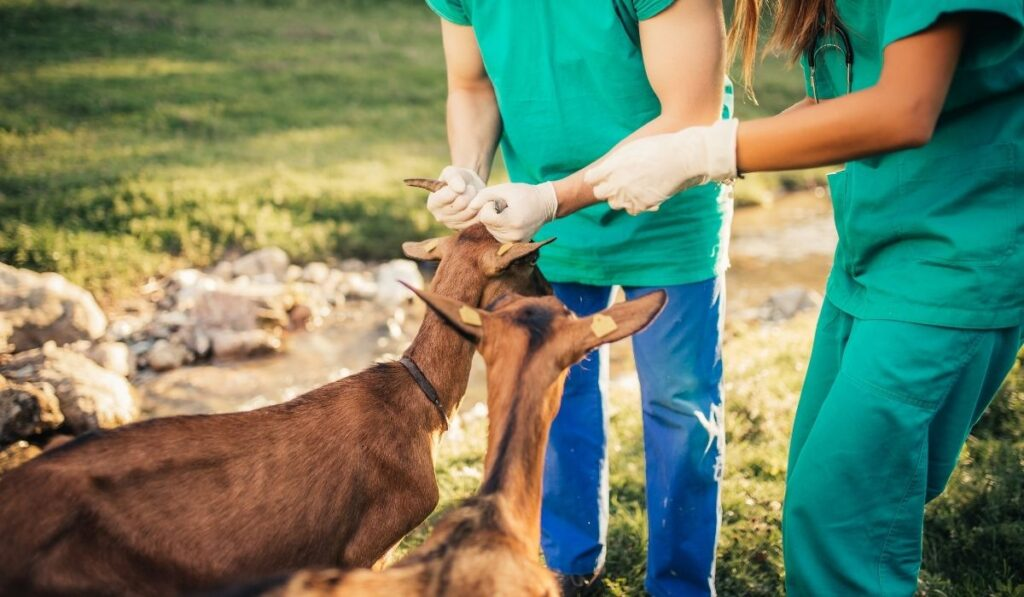 Veterinary taking care of goats