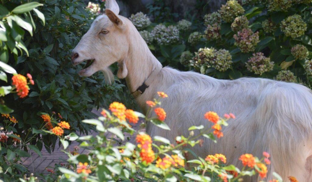 White goat eating flowers