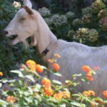 7 Tips to Stop Goats From Eating Flowers and Plants