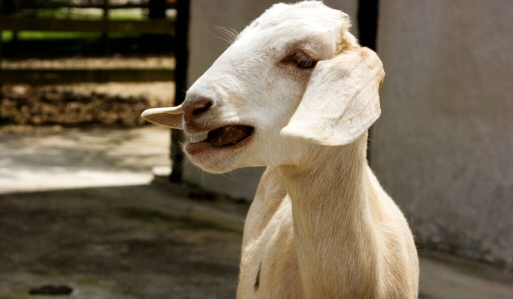 White goat opening its mouth