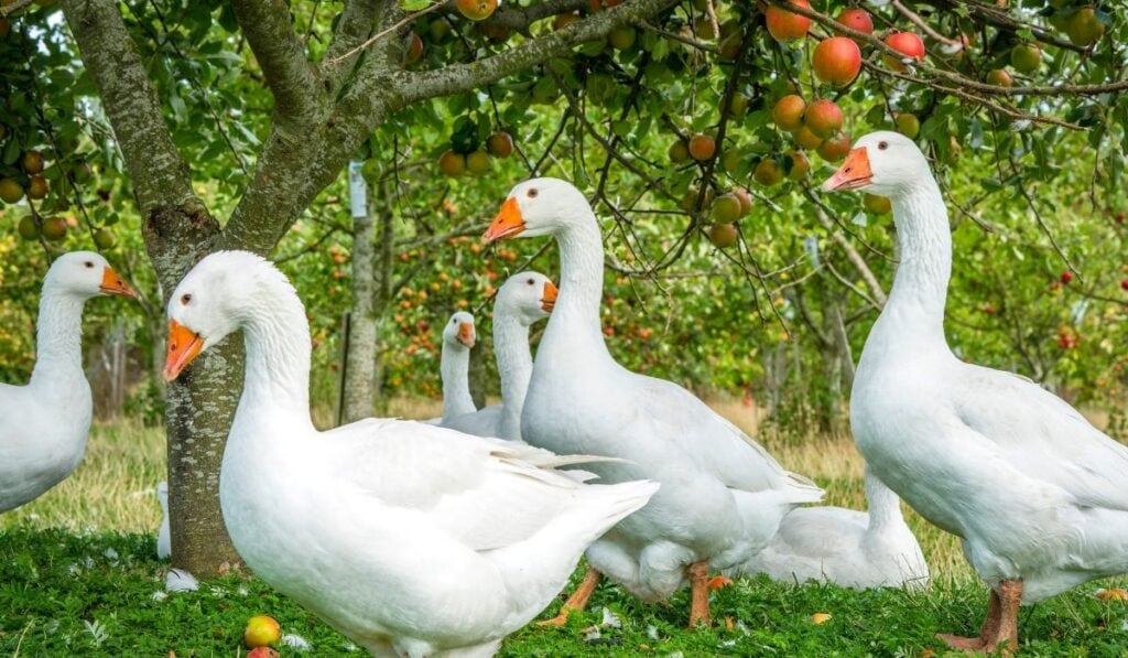 Whites geese and apple tree
