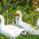 Can Geese Eat Apples?