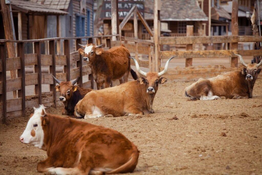 Cows inside the pen