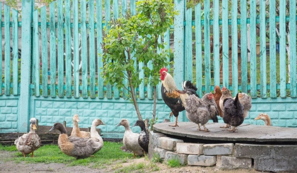 flocks of ducks and chicken
