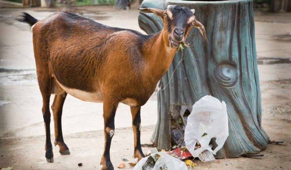 goat eating plastic
