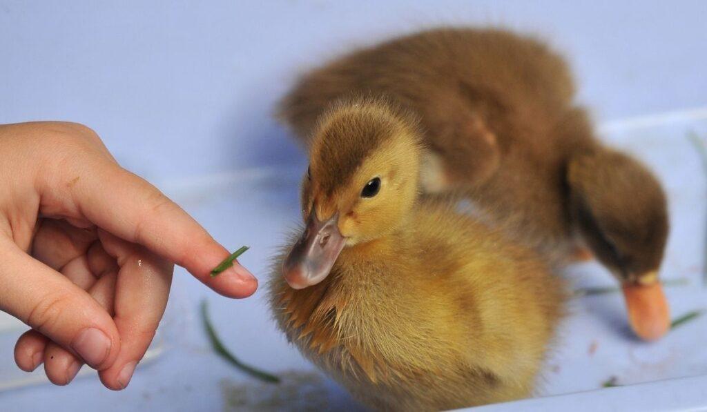 Baby duck as pet