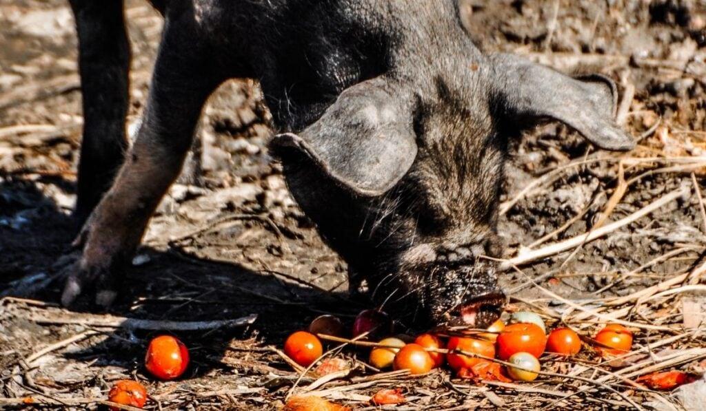 Black Pig Eating Tomatoes