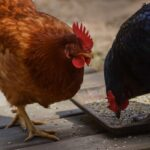 Can Chickens Eat Fish and Fish Bones?