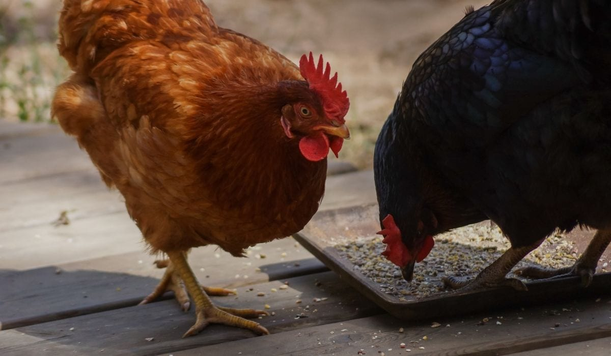 chickens eating out of a pan