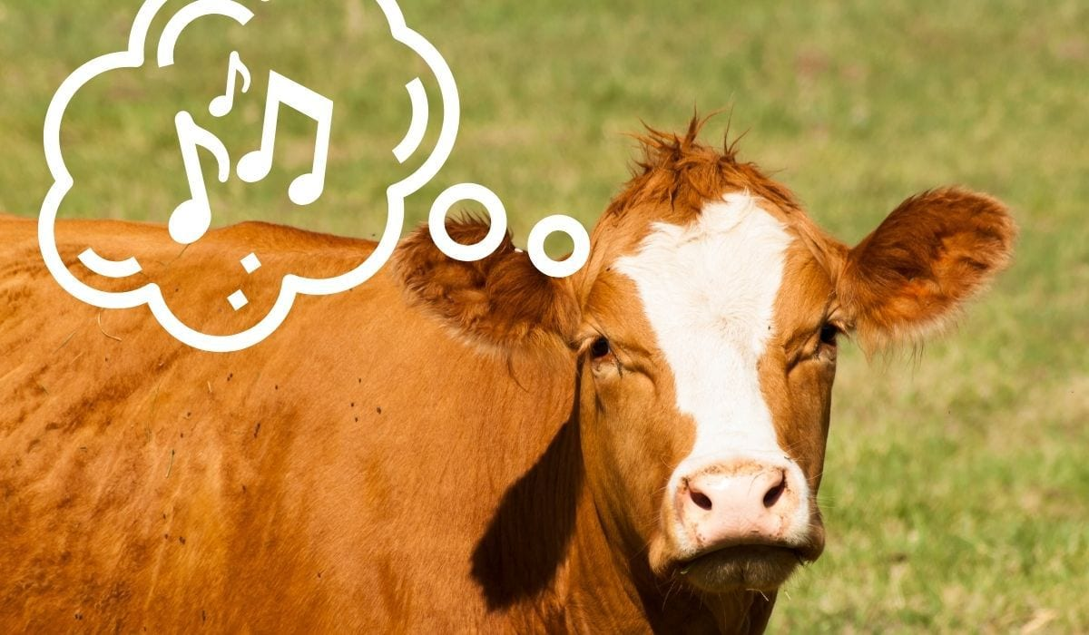 cow thinking about music
