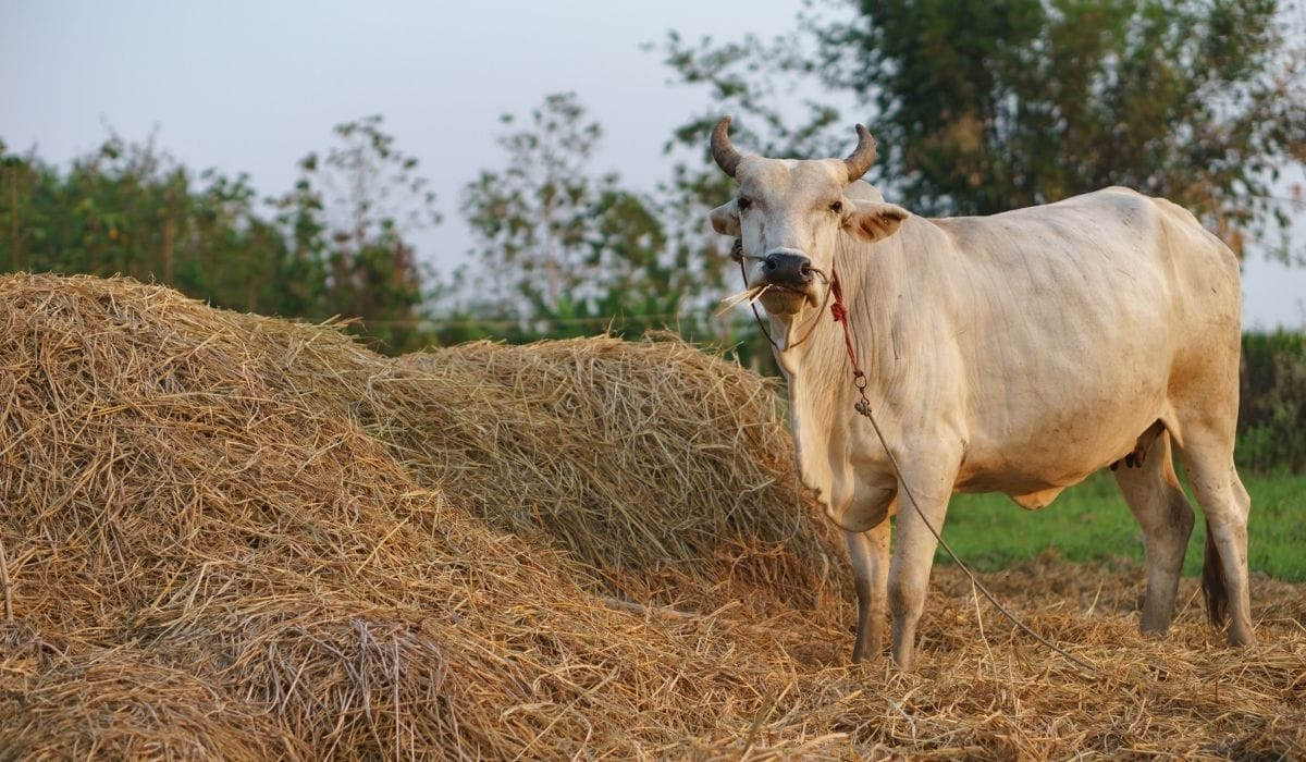 cow eating rice straw in a field