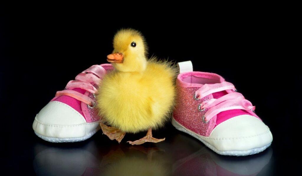 Cute baby pet duck
