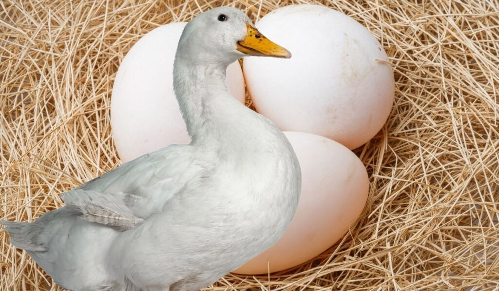 Duck and eggs