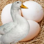 Disadvantages of Duck Eggs