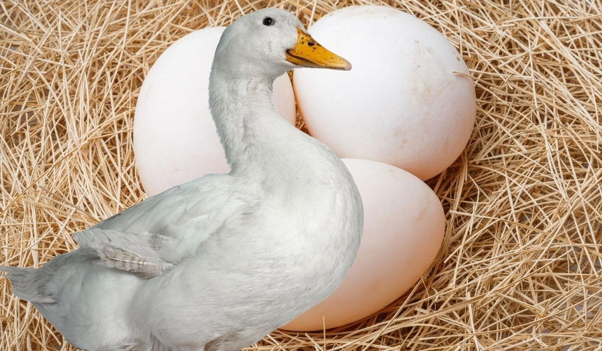 duck and duck eggs