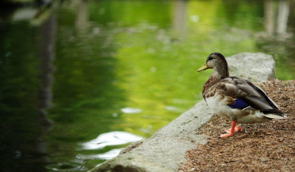 Duck near pond