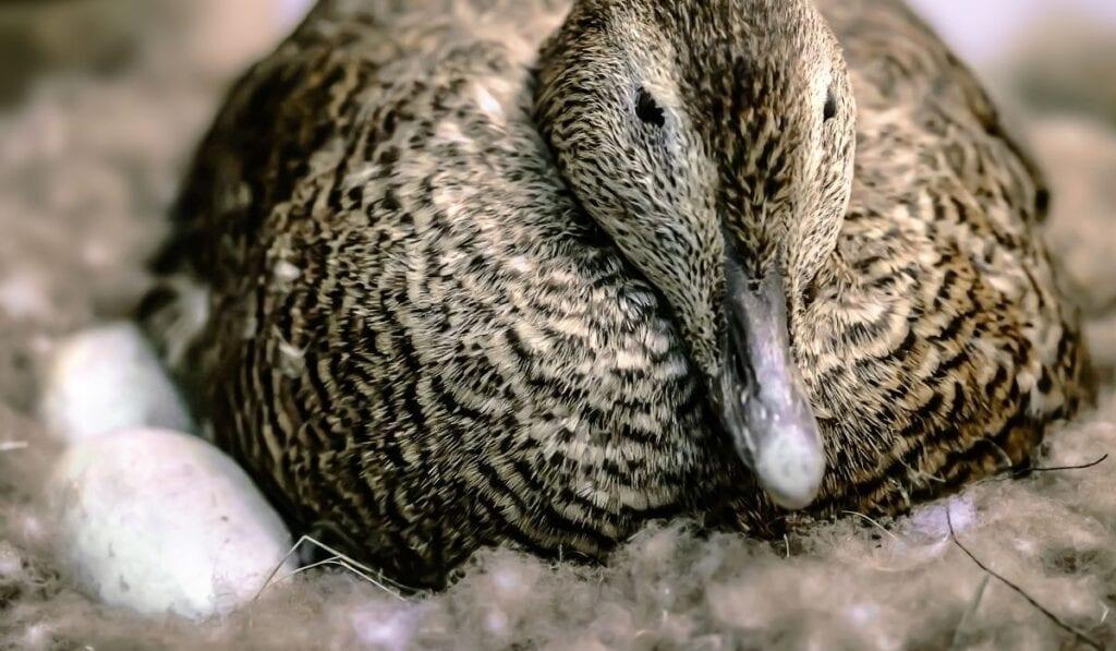 Duck sitting on eggs