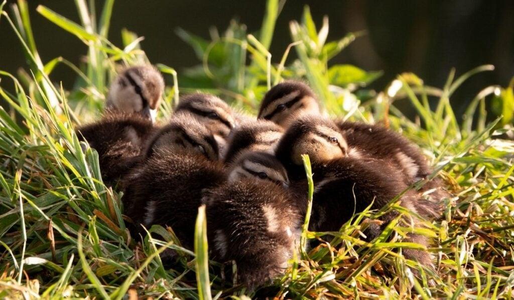Duckling Huddle Together