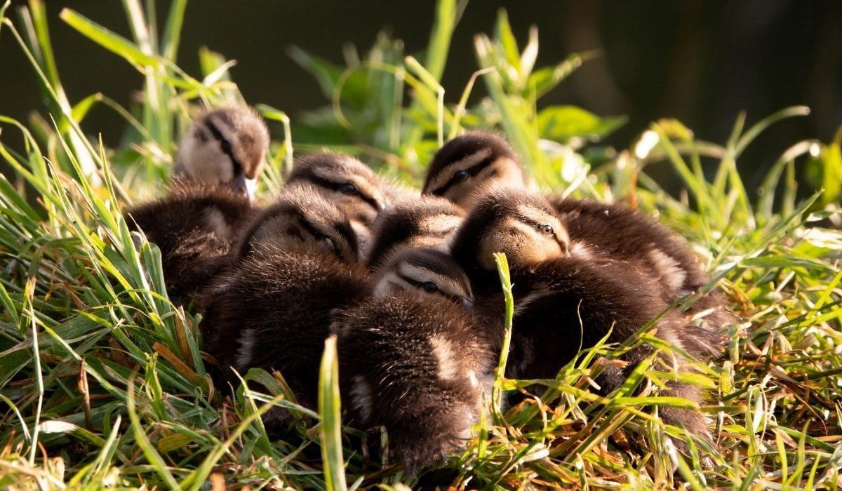 ducklings huddling together