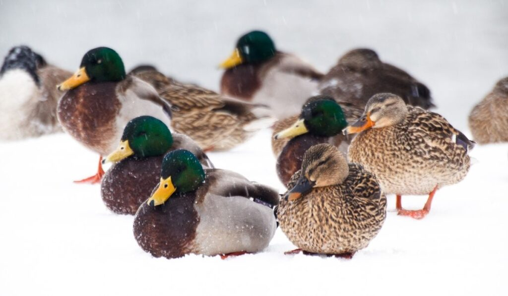 Duckling feeling cold during winter