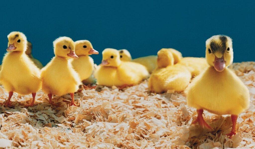 Duckling standing coop bedding