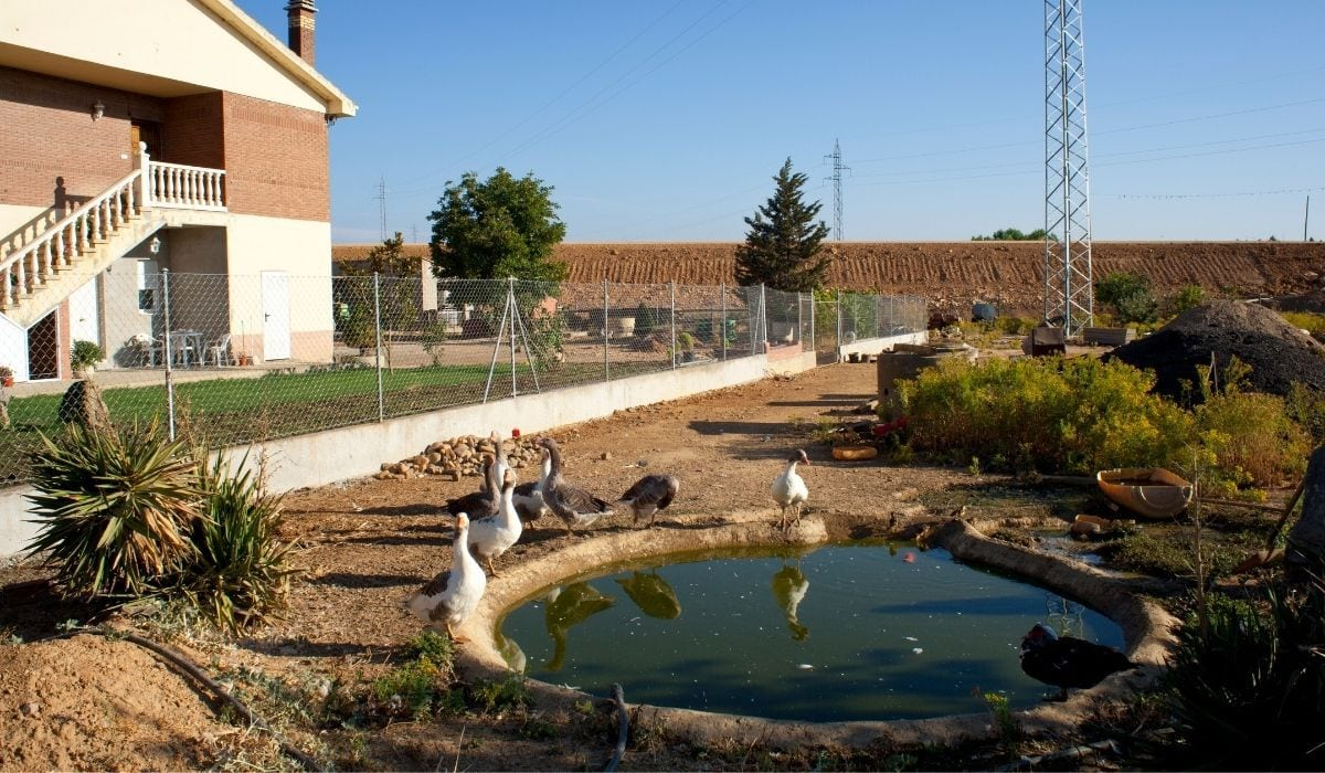 ducks around a farm pond