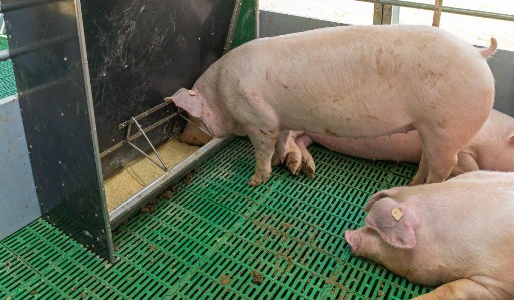 Feeding pigs inside pen