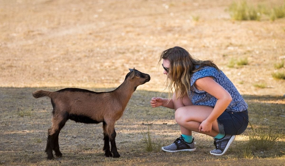 girl with a brown and black goat