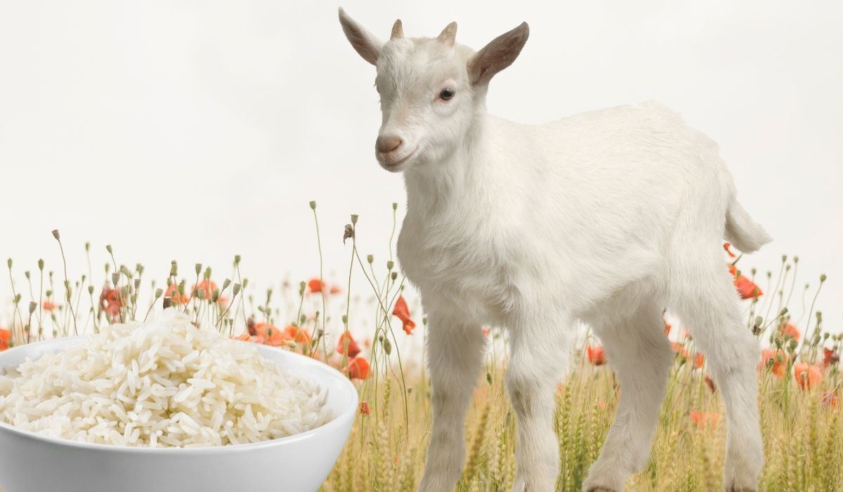 collage of goat with a bowl of rice