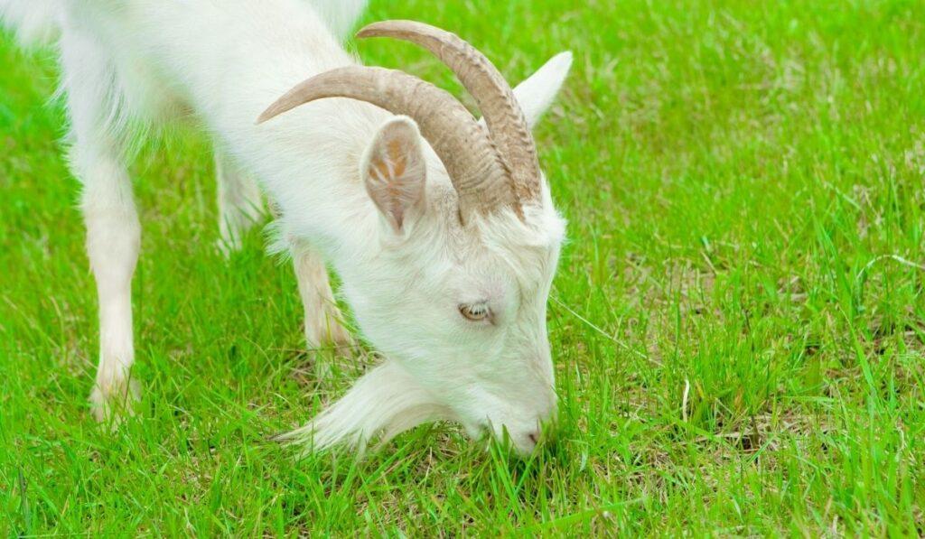Goat eating Bermudagrass