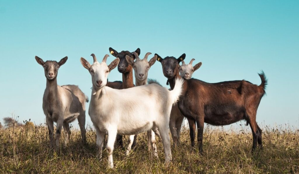 Group of goats in the field