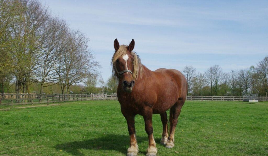 Irish Draughts Horse