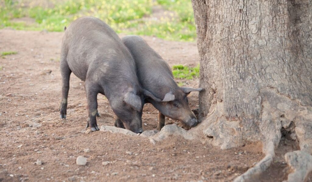 Pigs eating under the tree