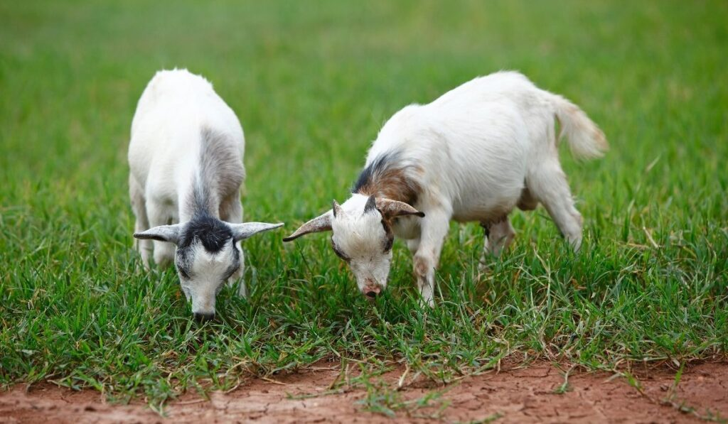 Two African goats eating grass