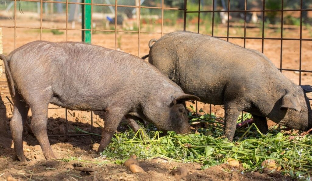 Two black pigs eating plants