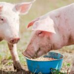 Can A Pig Eat Anything? 5 Foods a Pig Should NOT Eat