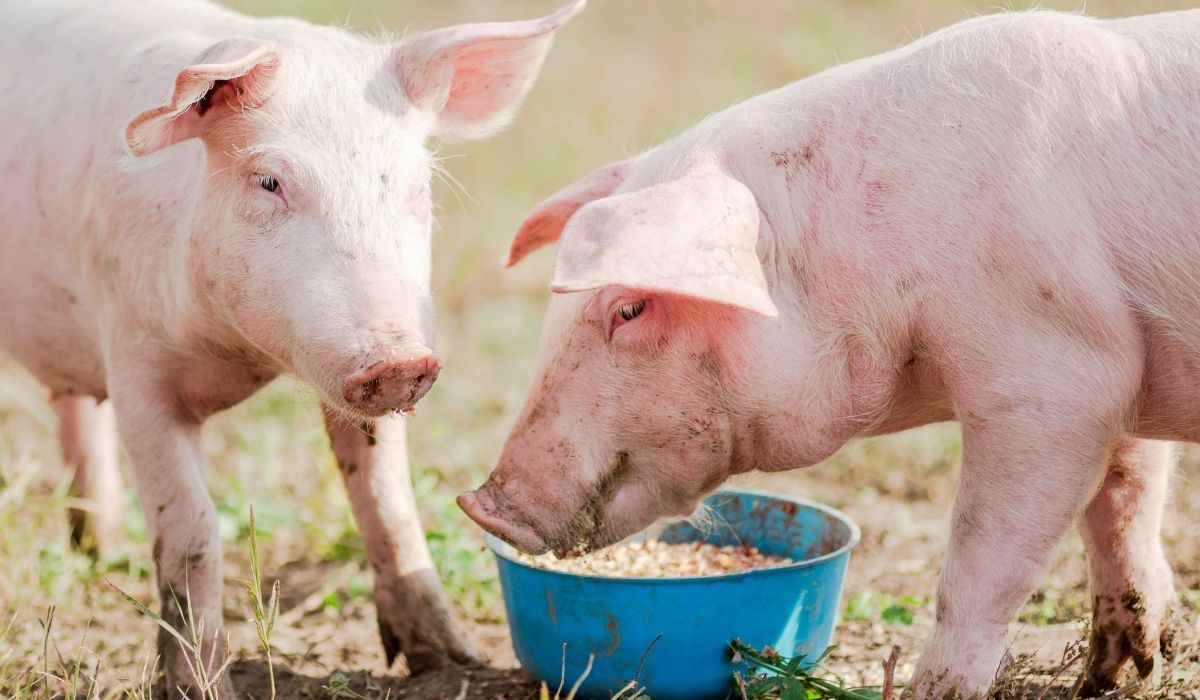 two pigs eating food
