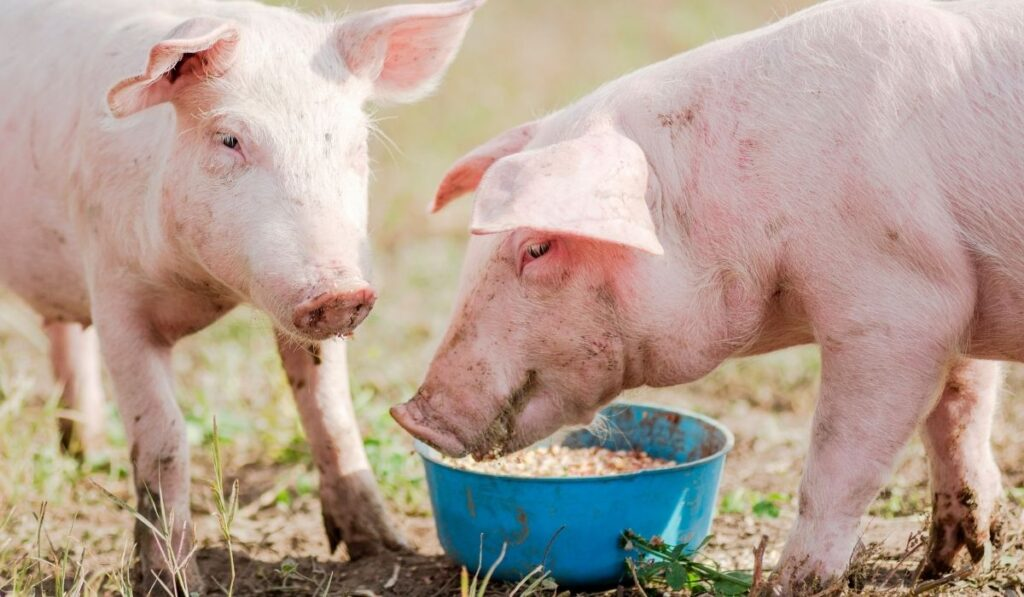 Two pigs eating feeds