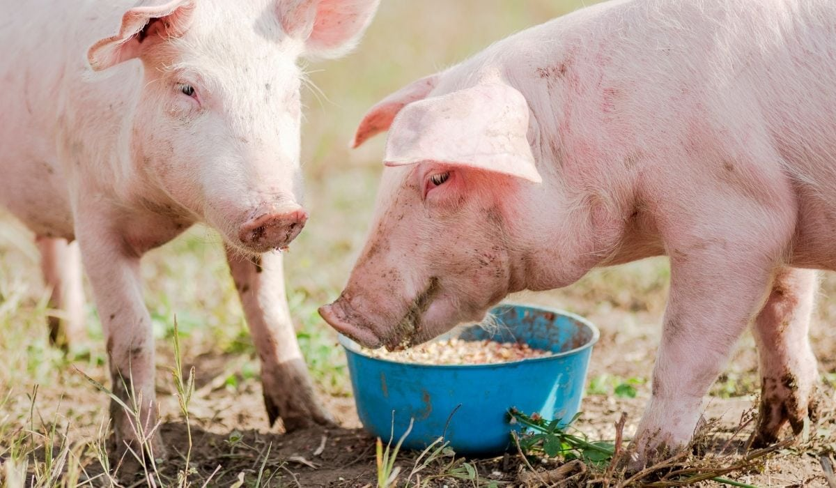 two pigs eating out of a plastic feeder